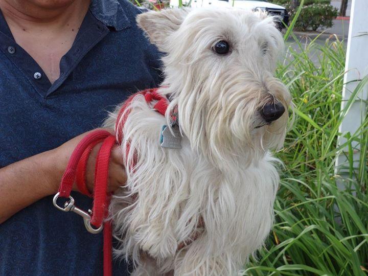 Scottie, Scottish Terrier Puppies in Sacramento