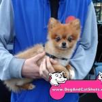 17-Dixon-Pomeranian-Rico-dog-and-cat-shots