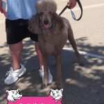 26-Manteca-Standard-Poodle-Chevy-dog-and-cat-shots