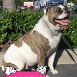 27-Galt-American-Bulldog-Brea-dog-and-cat-shots