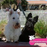 22-Vacaville,-Scottish-Terrier,-Bonnie-Clyde-dog-and-cat-shots