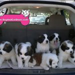 30-Fairfield-Suisun.-8-St-Bernard-Pups-dog-and-cat-shots.-707-514-9594