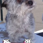 19-Placerville.-Cairn-Terrier,-Daisy