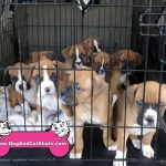 8-post-together-antelope-foothill-farms-9-boxer-pups-916-223-0016