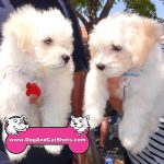 24-vacaville-maltese-poodle-luke-and-bruno