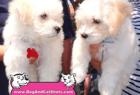 We Also Saw Luke and Bruno The Maltese/Poodle Mixes At Our Vacaville Clinic