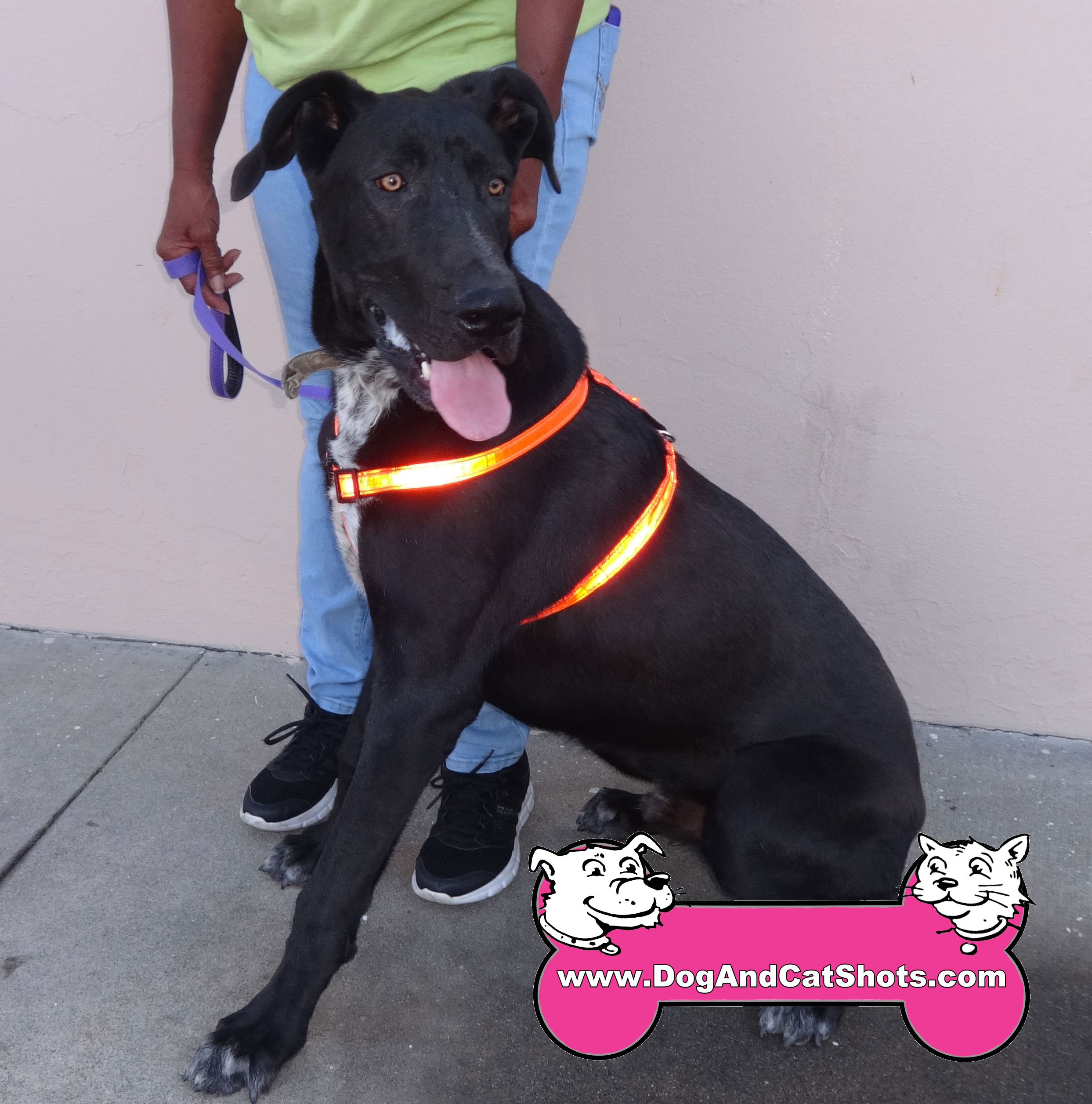 Bently is Young Great Dane Who Is Looking For A New Home!