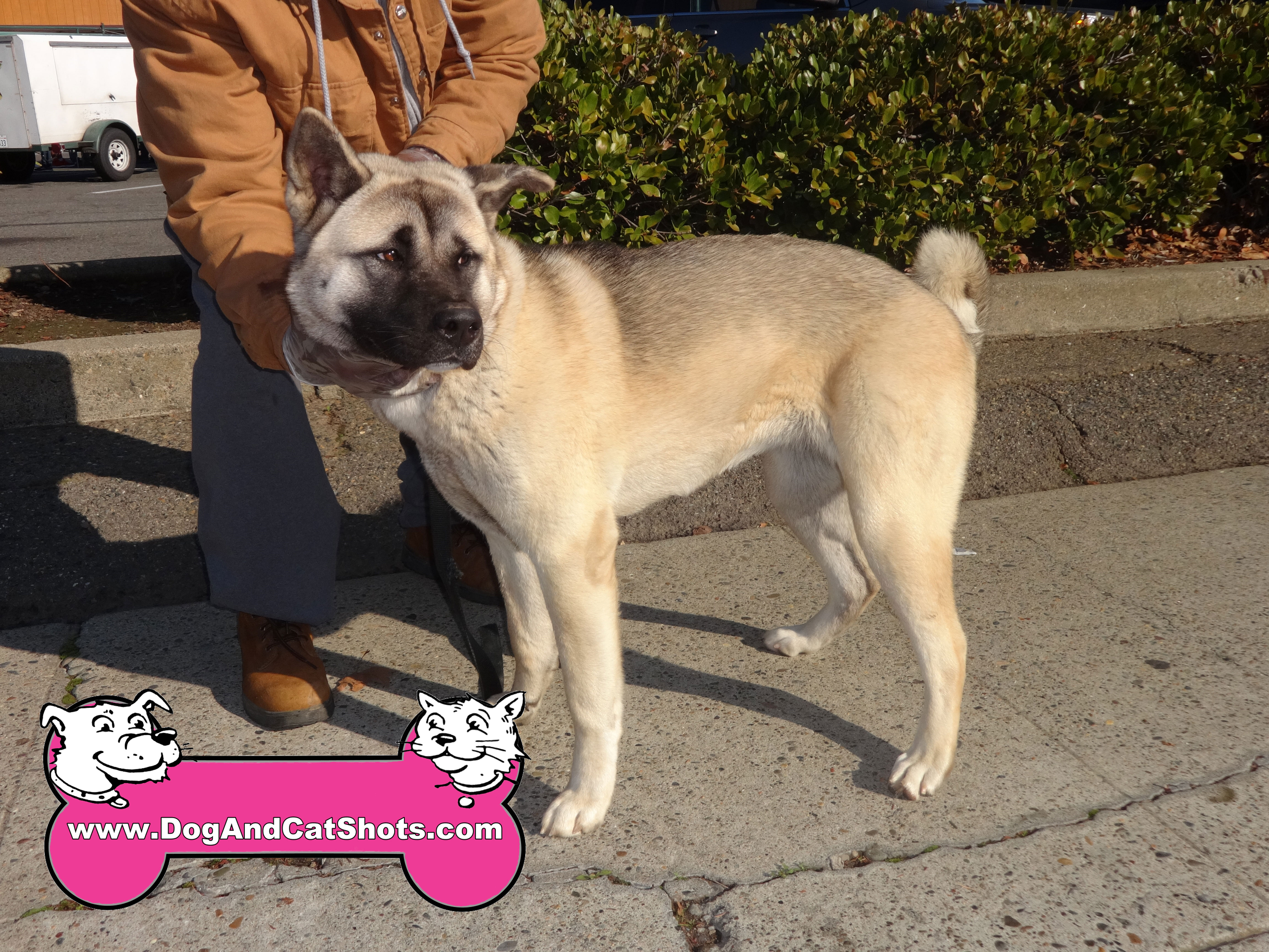 We Vaccinated Isis The Akita At Our Sacramento Clinic