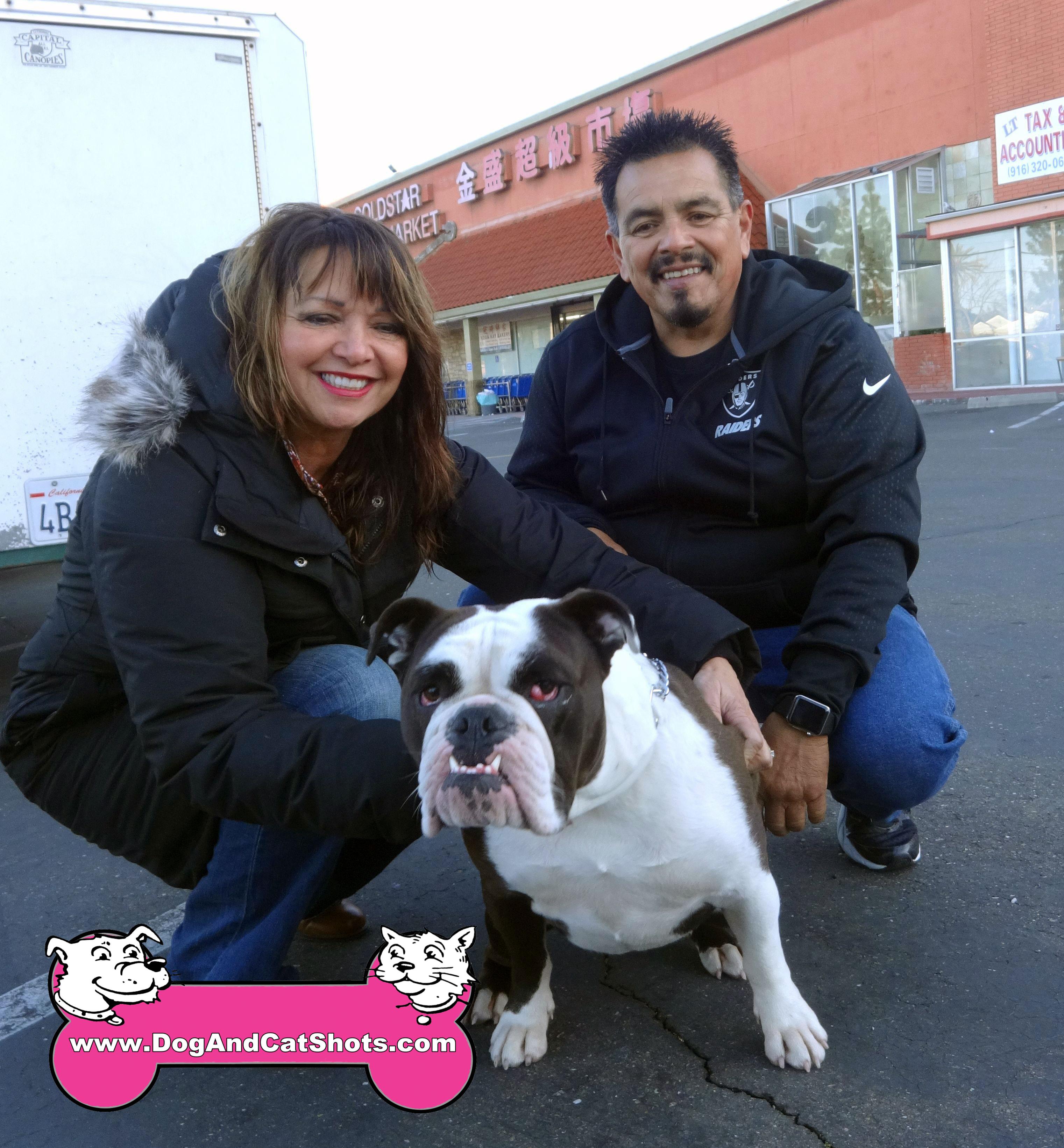 Nika The Olde English Bulldogge Visited Us In South Sacramento