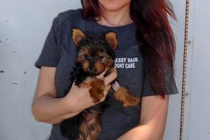Chispita The Yorkie Came To Our Manteca Vaccination Clinic
