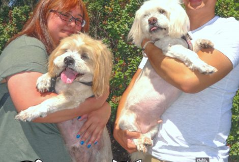 Elmo and Simba The Lhaso Apso Siblings Visited Us In Fairfield