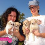 16-elk-grove-lhasa-apso-pomeranian-and-poodle-mix-4-puppies-2-girls-left-2-boys-right-for-sale-theresa-towell-2098822553
