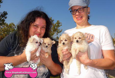 Pomeranian / Lhasa Apso / Poodle Pups Visited Us In Elk Grove