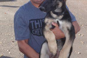 King the German Shepherd Pup Visited Us In Woodland
