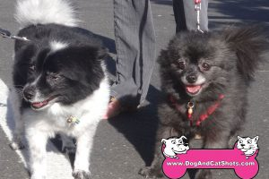 Wiley and Maggie The Pomeranians Visited Us In Carmichael