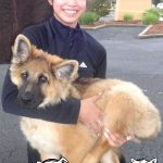 14-rocklin-germann-shepherd-oso