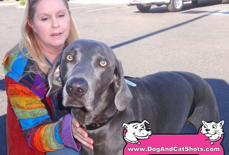 Diesel The Weimaraner Visited Our Manteca Clinic