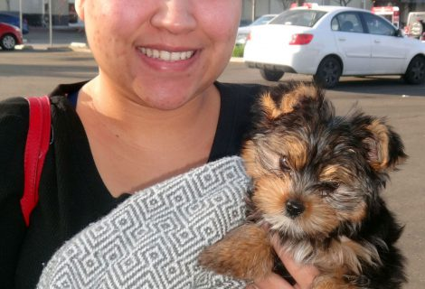 Eva The Yorkie Pup Charmed Us In Stockton