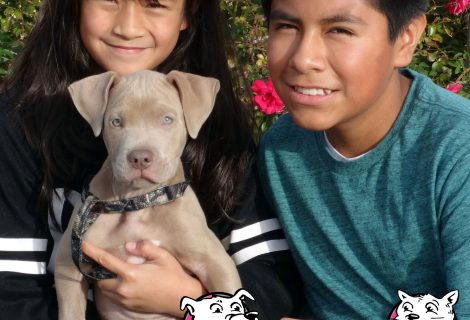 Here at Our Vacaville Clinic We Saw Roko The Pitbull Pup