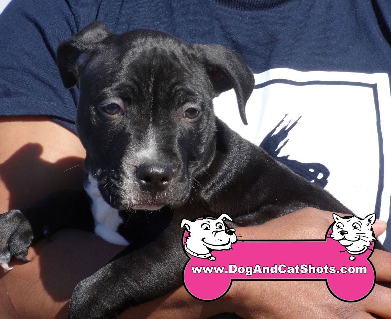 Zeus The Pitbull Puppy Visited Us In Sacramento