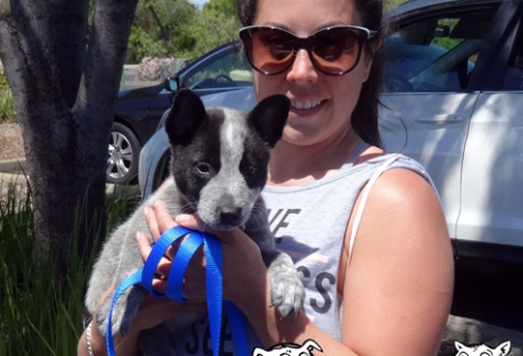 Blue The Queensland Heeler Pup Visited Us In Rocklin