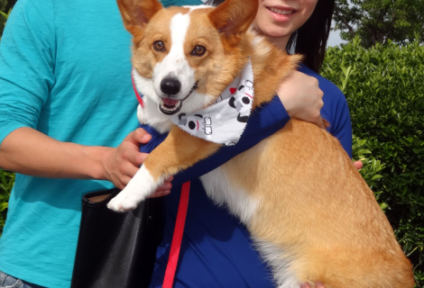 Linus The Welsh Corgi Visited Us In Dixon