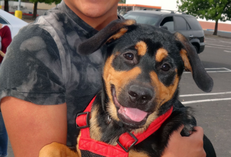 Oso the Rottweiler Mix Visited Us In Ceres