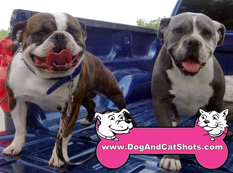 Duke the English Bulldog and Lola the Olde English Bulldogge Visited Our Tracy Clinic