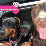 19-antioch-doberman-pinscher-bella-danger