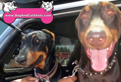 Bella and Danger the Doberman Pinscher Visited our Antioch Clinic