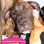 15-tracy-boerboel-so-african-mastiff-phoebe