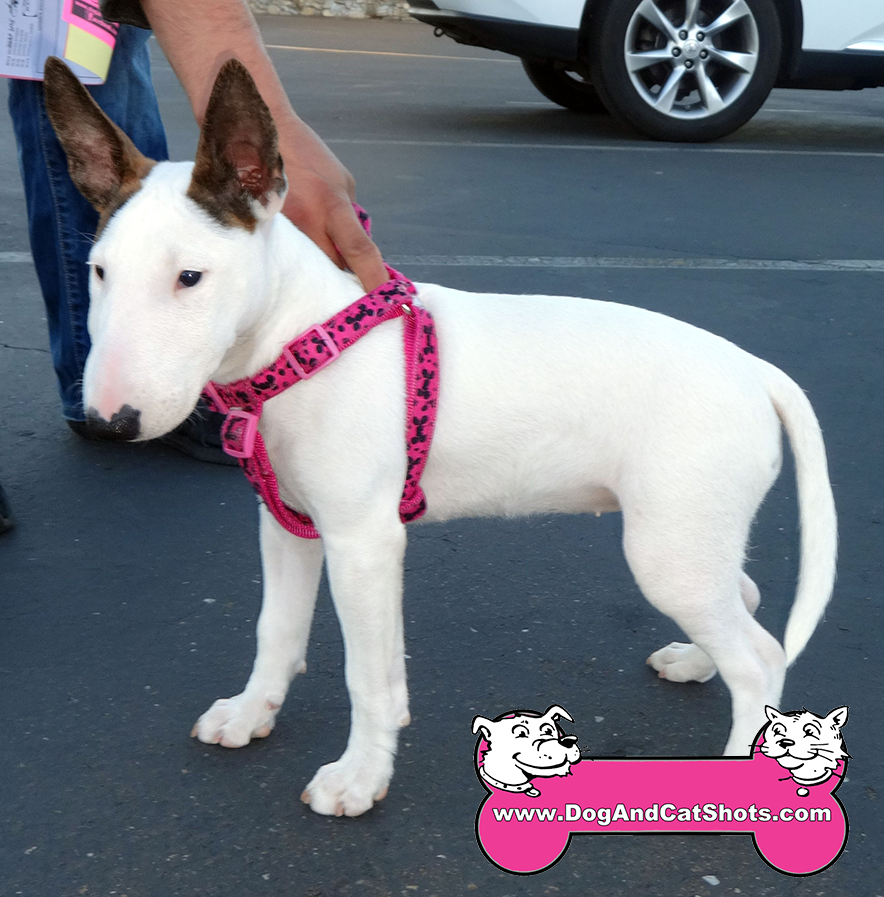 28-elk-grove-bull-terrier-china