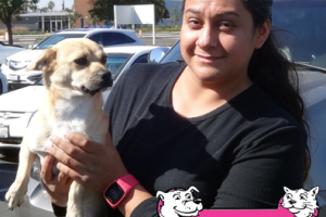 Bruce the Chihuahua Mix Visited us in Manteca