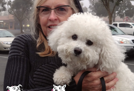 Baxter the Bichon Frise Visited us in Vallejo
