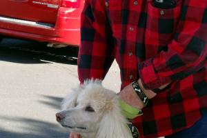 Sassy The Standard Poodle Visited us in Roseville/Rocklin