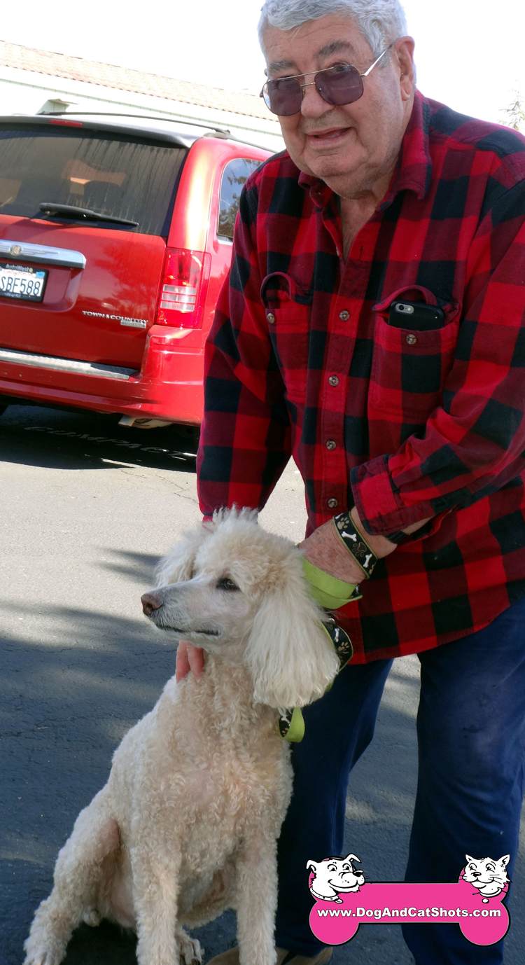 Sassy The Standard Poodle Visited us in Roseville/Rocklin