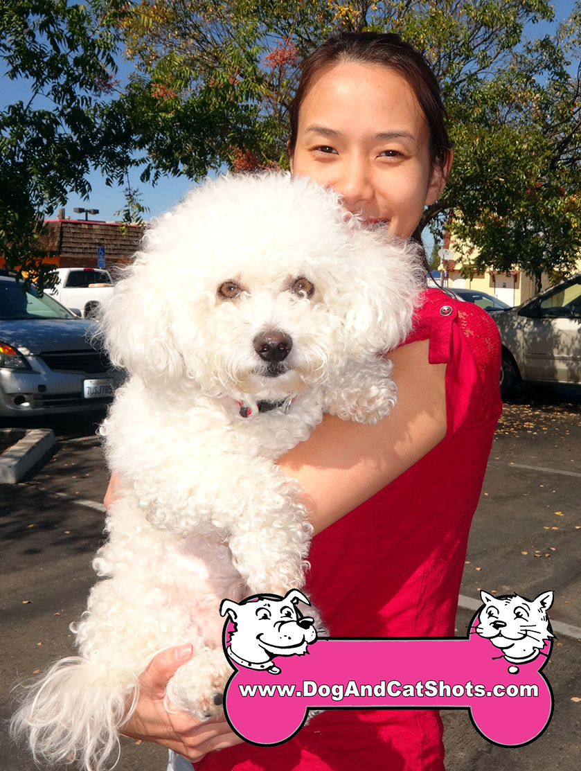 Brulee the Bichon Frise pup Visited us in the Arden Area