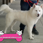 11-antioch-samoyed-nube
