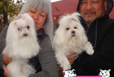 Zoey and Honey  The Maltese' Visited us in Tracy