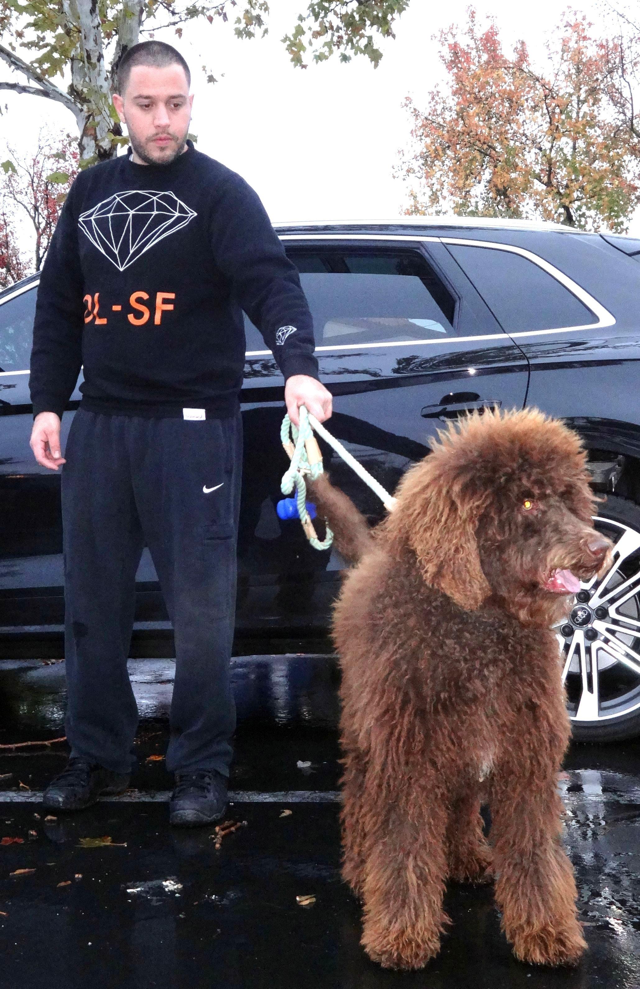 Koko The Standard Poodle Visited us in Elk Grove