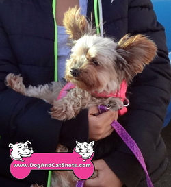 Princess The Yorkshire Terrier Visited us in Atwater