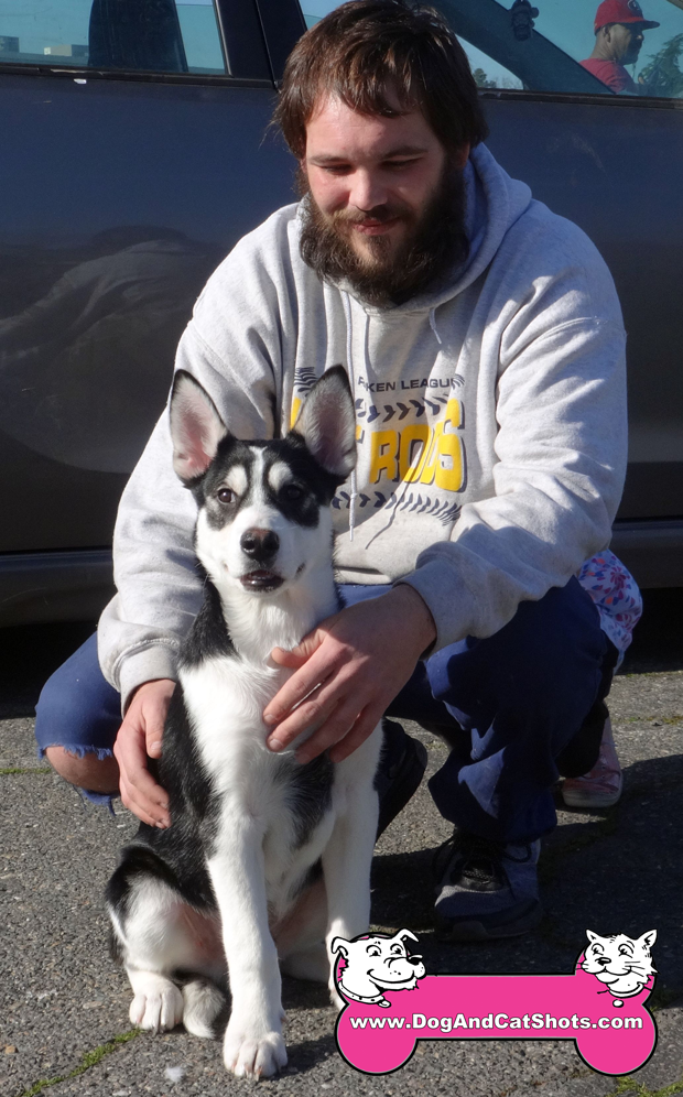 Flash the Siberian Huskey Visited us in West Sacramento