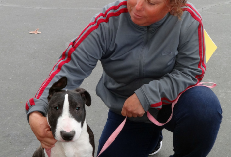 Zeus the Bull Terrier Visited us in Turlock