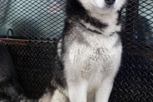Oreo the Siberian Husky Visited us in Stockton