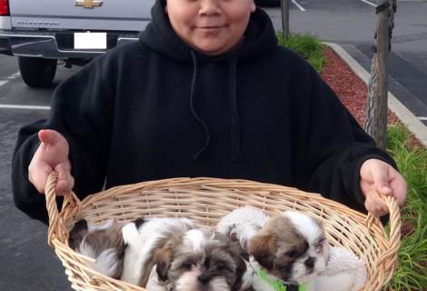 Shih-Tzu Puppies Available in Pittsburg