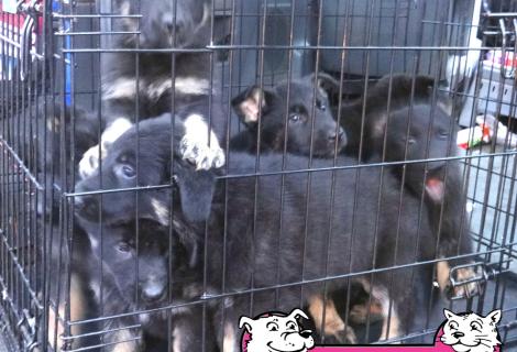 German Shepherd Puppies Available in Elk Grove
