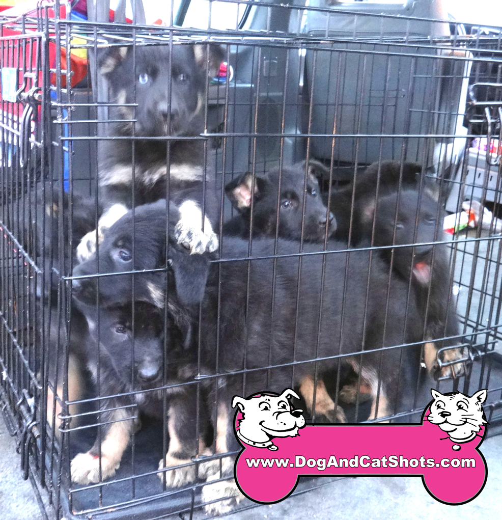 28-elk-grove-german-shepherd-puppies-9169971325