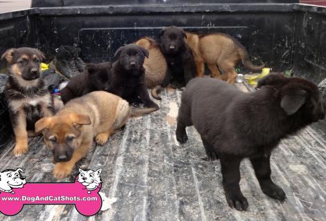 AKC German Shepherd puppies Available in Auburn