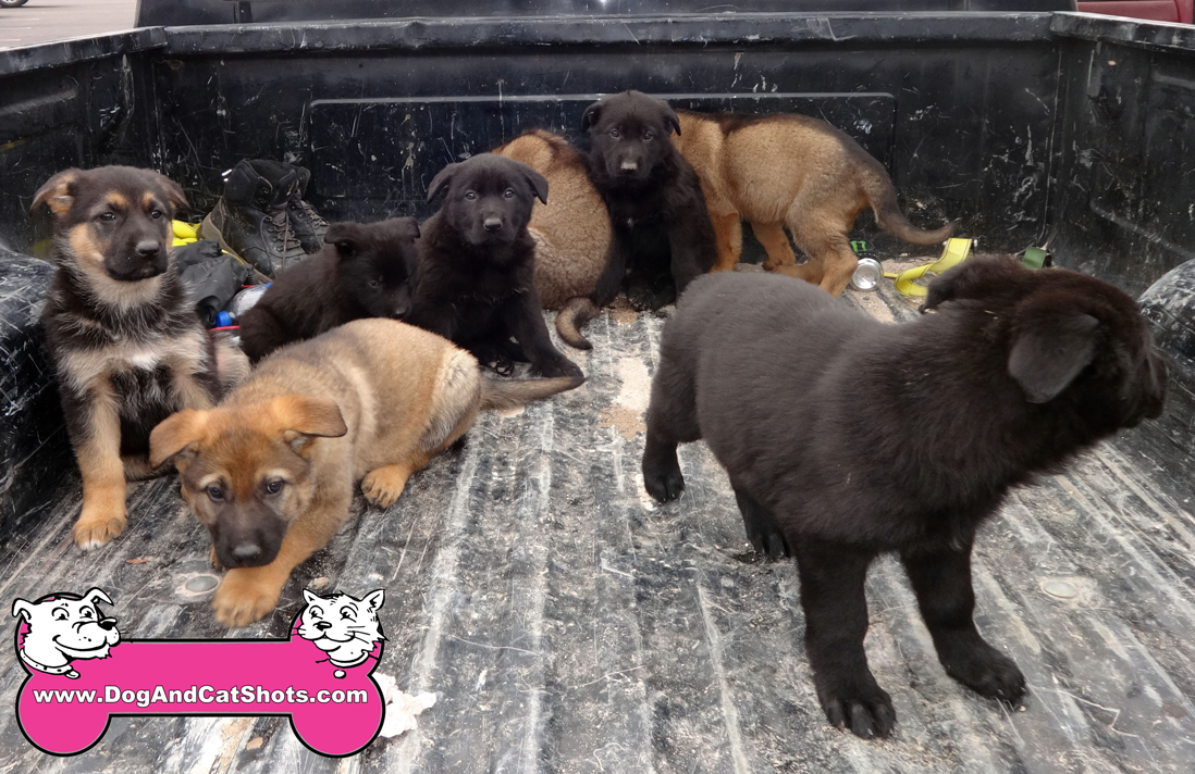 5-auburn-german-shepherd-puppies-916-410-9400-akc