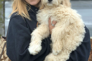 Chloe the Goldendoodle visited us in North Highlands
